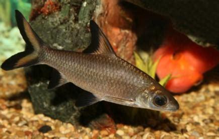budidaya ikan balashark dunia perikanan