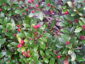 Bushes with Red Berries Plants