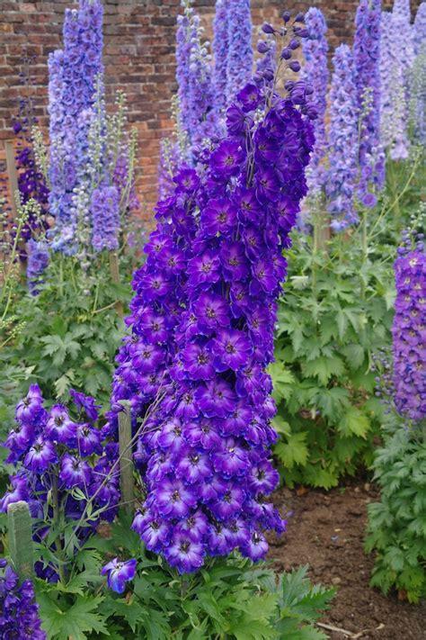167 best images about gf delphinium per larkspur annual on gardens