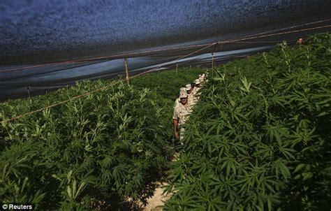 Largest Ever Marijuana Plantation Hidden Under Black