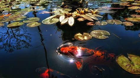 Water Japan China Fish National Geographic Koi Wallpaper