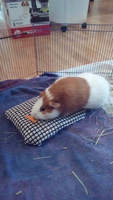 Aspen Bedding For Guinea Pigs by 17 Best Ideas About Guinea Pigs On