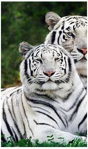 Beautiful 1080p HD Tiger Wallpaper ~ HD Wallpapers & Images