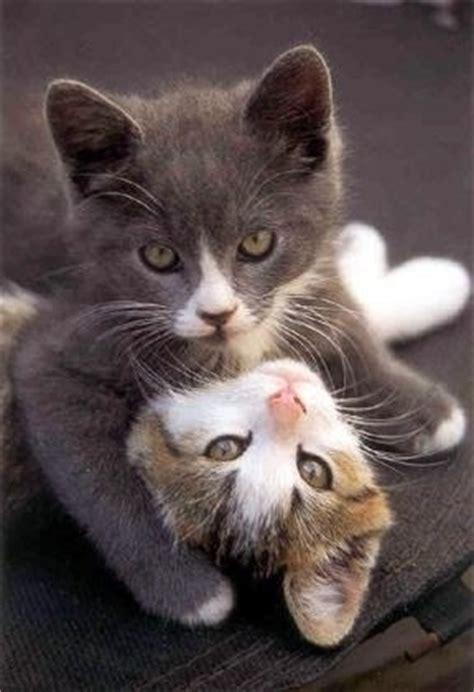jeu de chaton chaton sur chat mignoncom