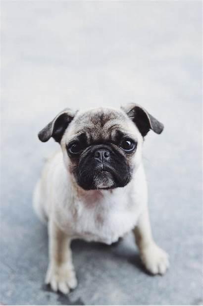 Pug Wallpapers Christmas Pugs Eye Ulcer Dog