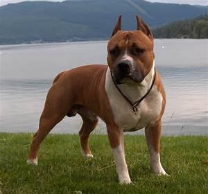 pitbull dog wallpaper
