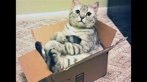 los  mas graciosos gatos jugando  cajas muy