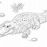 Crocodile Coloring Nile Pages Getcolorings sketch template