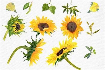 Sunflower Watercolor Clipart Watercolors Illustrations Cart Getdrawings