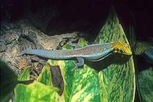 kingsnake blog Kingsnake Blog Neon Day Gecko