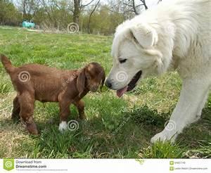 Maremma Sheepdog With Baby Goat Stock Image - Image of ...