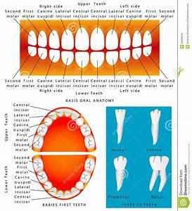 Anatomy Of Children Teeth Stock Vector  Illustration Of