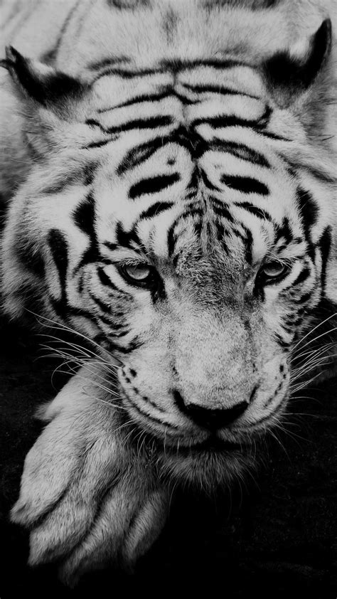 They have featured prominently in ancient mythology and folklore, and continue to be depicted in modern films and literature. Black And White Tiger Portrait iPhone 6+ HD Wallpaper HD - Free Download | iPhoneWalls