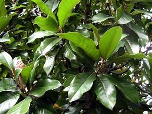 Magnolie Blätter Erfroren : immergr ne magnolie ~ Lizthompson.info Haus und Dekorationen