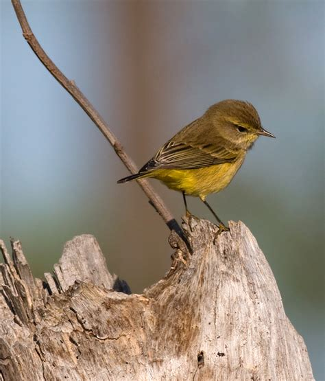 yellow chickadee image search results