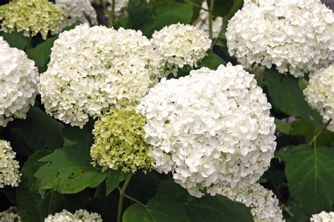 hortensie schneiden 187 so f 246 rdern sie die bl 252 tenbildung - Schneeball Hortensie Schneiden