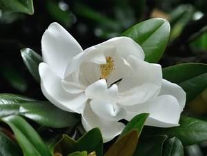 Fleur De Magnolia : magnolia grandiflora en fleur ~ Melissatoandfro.com Idées de Décoration