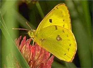 Gelb Schwarze Raupe : colias hyale goldene acht wei klee gelbling pale clouded yellow ~ Orissabook.com Haus und Dekorationen