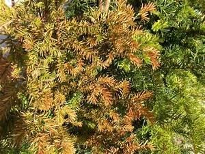 Werden Braune Zypressen Wieder Grün : fragen an den meister eibenhecke ~ Lizthompson.info Haus und Dekorationen