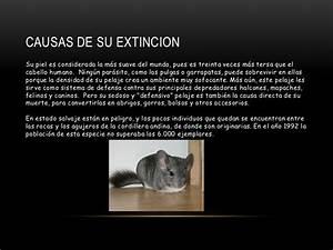 Animal En G : animal en peligro de extinci n chinchilla ~ Melissatoandfro.com Idées de Décoration