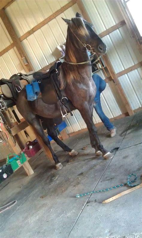kentucky horses horse mountain rocky saddle saddles bullets mountains olds bullet yr gelding