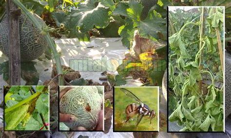 jenis hama penyakit tanaman melon