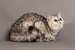 Exotic shorthair cat. persian cat on grey background ...