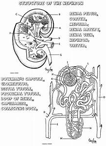 Structure Of The Nephron Coloring Sheet