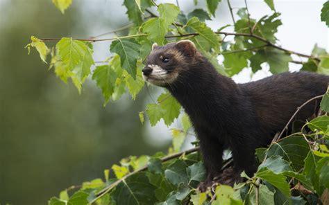 ferret full hd wallpaper  background image