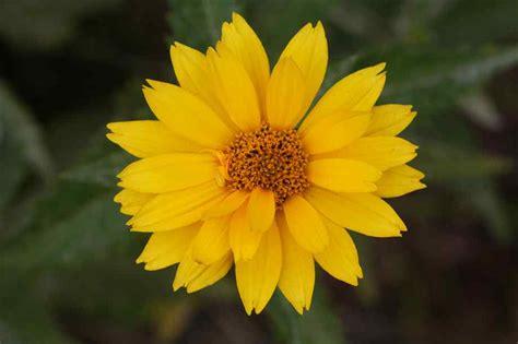 yellow flower xcitefunnet
