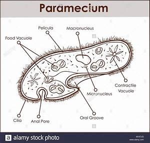 Paramecium Stock Photos  U0026 Paramecium Stock Images