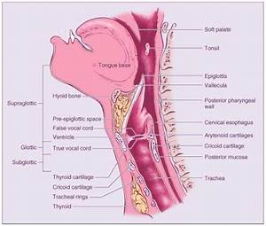 Medical And Health Science  Anatomy Of Throat