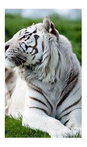 3840x2160 tiger 4k wallpaper pc full hd | Animal | Tokkoro ...