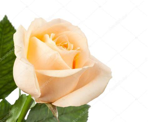 immagine fiore rosa rosa fiore isolato su sfondo bianco foto stock 169 timmary