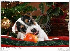 Lustige Tierfotos BildBilder Parson Russell Terrier