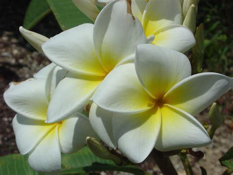samoan fluff plumeria plumeria  florida colors nursery