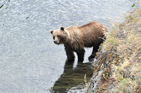 bears grizzly ecosystem yellowstone peacock doug listing lifetime threats warming survival greatest global face taku