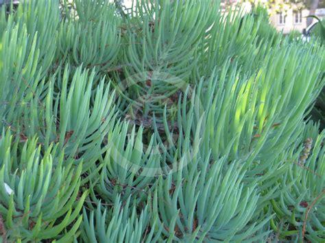 senecio cylindricus narrow leaf chalk sticks information