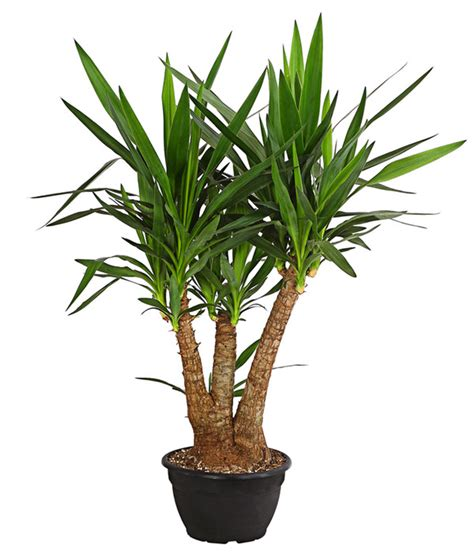 yucca palme ableger yucca palme verzweigt dehner
