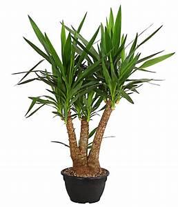 Yucca Palme Winterhart : yucca palme verzweigt dehner ~ A.2002-acura-tl-radio.info Haus und Dekorationen