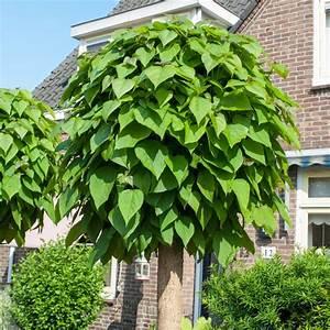 Catalpa Bignonioides Nana Pflege : catalpa bignonio des 39 nana 39 plantes et jardins ~ Lizthompson.info Haus und Dekorationen