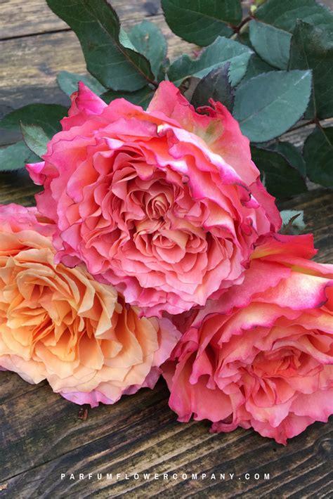 premium scented garden rose  spirit