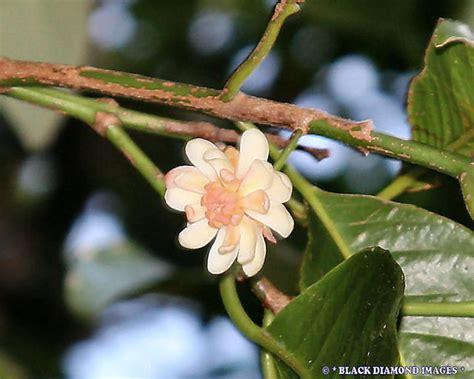 idiospermum australiense ribbonwood idiot fruit flickr