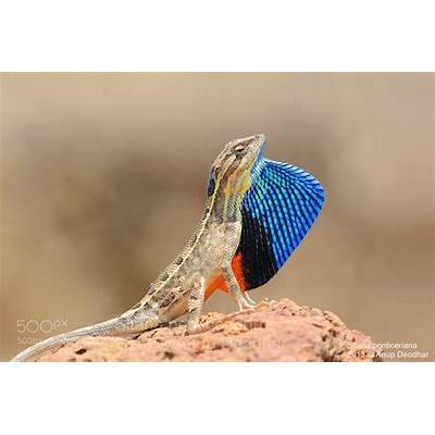 Photograph Fan-throated lizard (Sitana ponticeriana) by