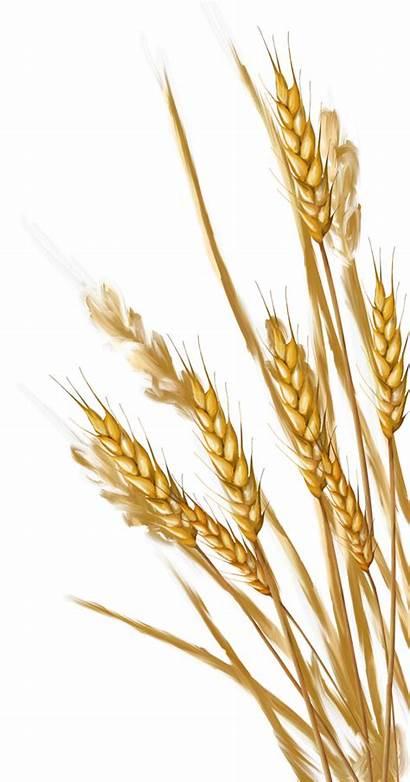 Wheat Grain Clipart Ear Drawing Transparent Grass