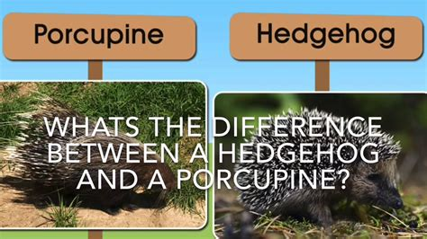 what is the difference between a and a sofa whats the difference between a porcupine and hedgehog