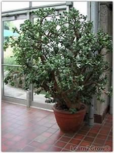 Jade Plant   Crassula ovata   Tough Houseplant: Gardening