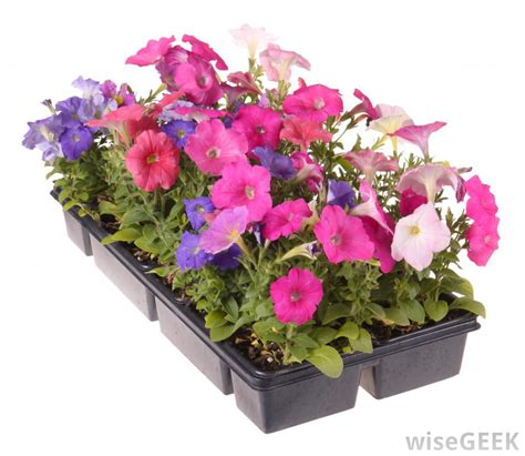 annual plant definition what is the difference between annual and perennial plants