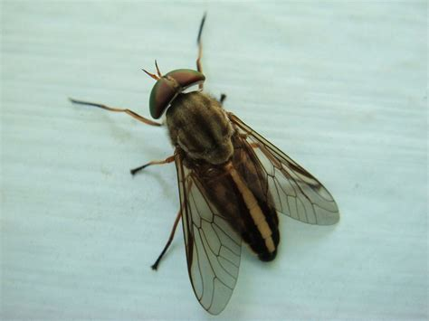 Filestriped Horse Fly Wikimedia Commons