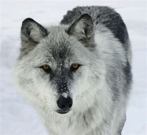gray wolf    prey wolf facts  information